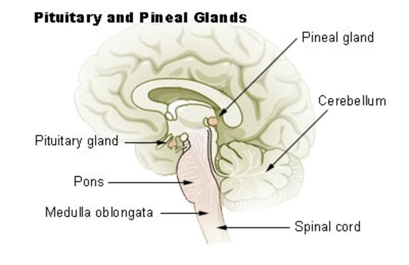 Pineal Gland  - The Pineal Gland